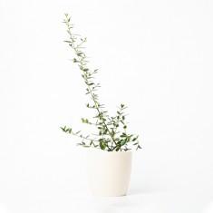 [식물농장] 인테리어식물 올리브나무 화분세트 (디자인화분) 이미지