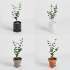 [식물농장] 유칼립투스 미니화분 매혹적인 향의 만능식물 이미지
